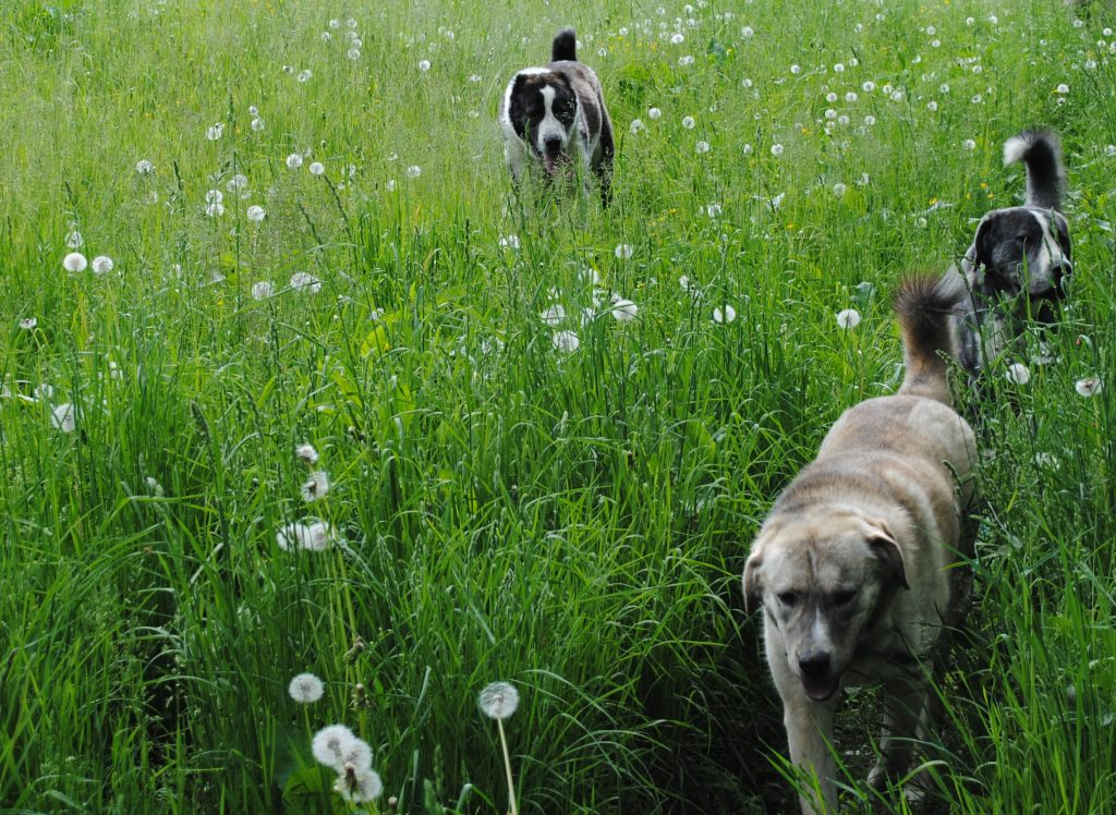 Unsere Herdenschutzhunde fühlen sich bei uns wohl
